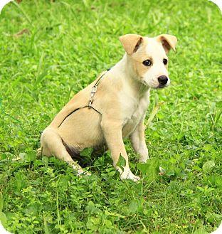 Boxer/Border Collie Mix Puppy for adoption in Allentown, Pennsylvania - Willow