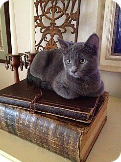 Domestic Shorthair Kitten for adoption in Flower Mound, Texas - Blue