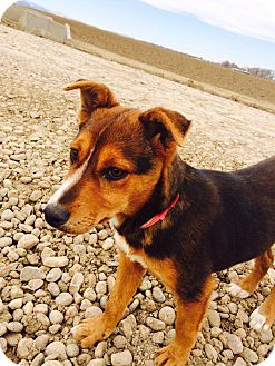 Shepherd (Unknown Type) Mix Puppy for adoption in Westminster, Colorado - Ruby