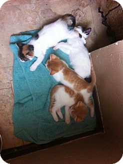 Domestic Shorthair Kitten for adoption in East McKeesport, Pennsylvania - KITTENS!
