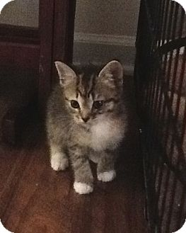 Calico Kitten for adoption in Huntsville, Alabama - Lilli