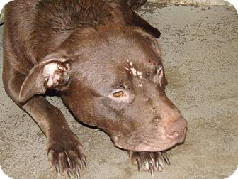 Labrador Retriever Mix Dog for adoption in Henderson, North Carolina - Paris