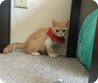 Domestic Shorthair Kitten for adoption in Sparta, New Jersey - Uni - Courtesy Listing