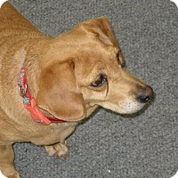Adopt A Pet :: Bella - Chesterfield, VA