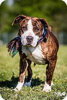 American Pit Bull Terrier/Boxer Mix Puppy for adoption in Boulder, Colorado - Susie Q