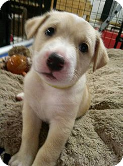 Labrador Retriever Mix Puppy for adoption in Westminster, Maryland - Leo
