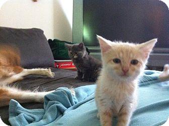 Domestic Shorthair Kitten for adoption in Fairborn, Ohio - Cream