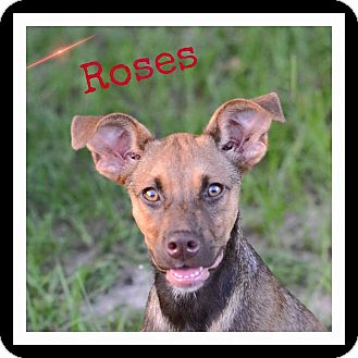 Doberman Pinscher Mix Puppy for adoption in SOUTHINGTON, Connecticut - Roses