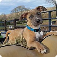 Adopt A Pet :: Jillian - Knoxville, TN