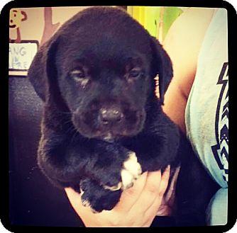 Labrador Retriever Mix Puppy for adoption in Grand Bay, Alabama - Meadow