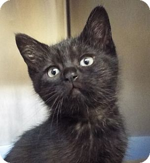 Domestic Mediumhair Kitten for adoption in Grants Pass, Oregon - Coco