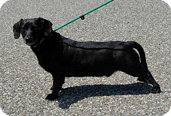 Dachshund Mix Dog for adoption in Ashland, Kentucky - Midnight and Lightning