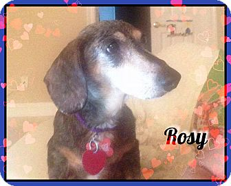 Dachshund Dog for adoption in Green Cove Springs, Florida - Rosy