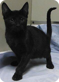 Bombay Kitten for adoption in Cedartown, Georgia - 33620413