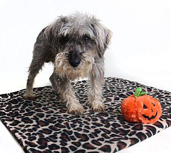 Miniature Schnauzer Mix Dog for adoption in Wilmington, Delaware - Cody