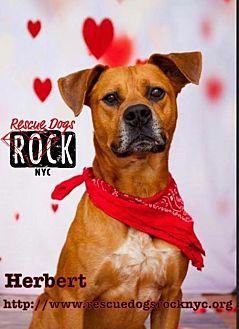 Pit Bull Terrier Mix Dog for adoption in New York, New York - Herbert