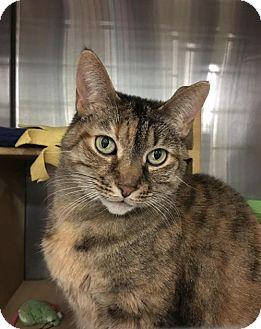 Domestic Shorthair Cat for adoption in Acme, Michigan - Peanut