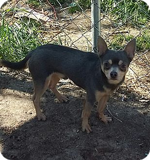 Chihuahua Dog for adoption in Carthage, North Carolina - Jason