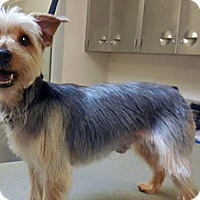 Yorkie, Yorkshire Terrier Mix Dog for adoption in Wildomar, California - Stanley