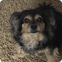 Papillon Mix Dog for adoption in Chandler, Arizona - ROXY 11