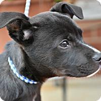 Adopt A Pet :: Roxie - Siler City, NC