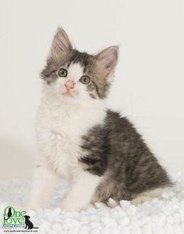Domestic Mediumhair/Domestic Shorthair Mix Cat for adoption in Savannah, Georgia - Bear