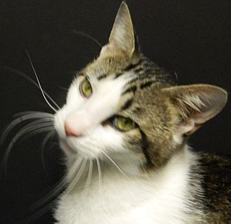Domestic Shorthair Cat for adoption in Columbus, Nebraska - Morty