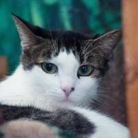 Adopt A Pet :: Mittens - Columbia, SC