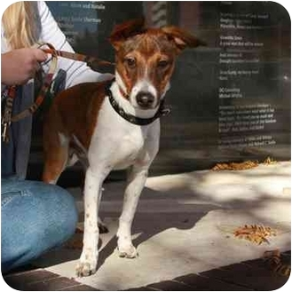 Jack Russell Terrier/Beagle Mix Puppy for adoption in Denver, Colorado - Lefty