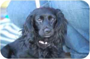 Dachshund Dog for adoption in Raritan, New Jersey - Cassie