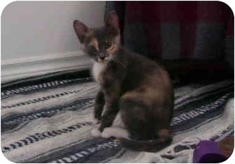 Domestic Shorthair Kitten for adoption in Okotoks, Alberta - Rachel