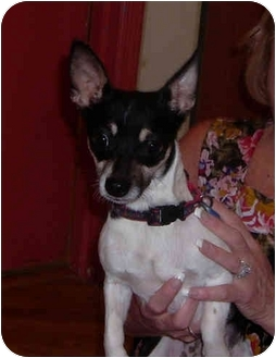 Chihuahua Mix Dog for adoption in Port Jefferson Station, New York - Tommy