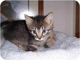 Domestic Shorthair Kitten for adoption in Brighton, Michigan - Meanie