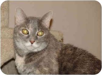 Domestic Shorthair Cat for adoption in Colmar, Pennsylvania - Aimee