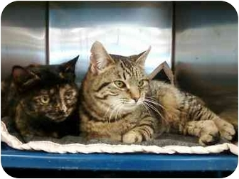 Domestic Shorthair Cat for adoption in Sheboygan, Wisconsin - Woodie
