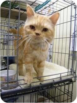 Domestic Mediumhair Cat for adoption in Modesto, California - Marzipan