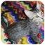 Photo 1 - Domestic Shorthair Kitten for adoption in Chandler, Arizona - Lil Man