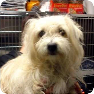 Shih Tzu Mix Dog for adoption in Manassas, Virginia - dazzle