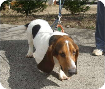 Basset Hound Dog for adoption in Douglasville, Georgia - Jack