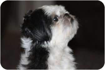 Shih Tzu Dog for adoption in Boonsboro, Maryland - Gizmo-Adopted