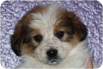 Great Pyrenees/Labrador Retriever Mix Puppy for adoption in McKinney, Texas - Bobby