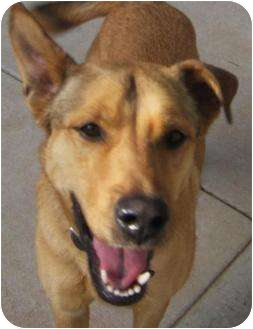 German Shepherd Dog Mix Dog for adoption in Cranford, New Jersey - Casey