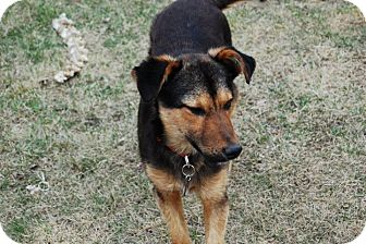 German Shepherd Dog Mix Puppy for adoption in Spruce Grove, Alberta - Ruger