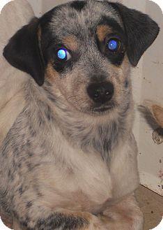 Australian Cattle Dog Mix Puppy for adoption in Aloha, Oregon - Queensland Heeler X