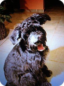 Schnauzer (Standard)/Scottie, Scottish Terrier Mix Dog for adoption in Madison, New Jersey - Lucia