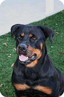 Rottweiler Dog for adoption in Seffner, Florida - Lazy