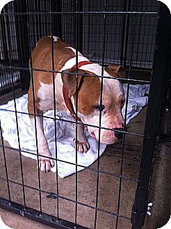 Pit Bull Terrier Mix Dog for adoption in Blanchard, Oklahoma - Rambo