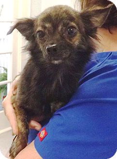 Chihuahua Dog for adoption in Gainesville, Florida - Marky Mark