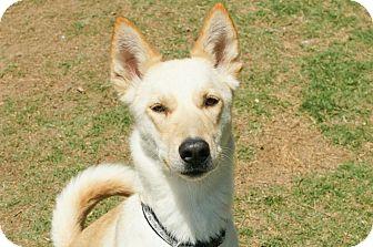 Carolina Dog Mix Dog for adoption in Cranston, Rhode Island - Evie (located in TX)