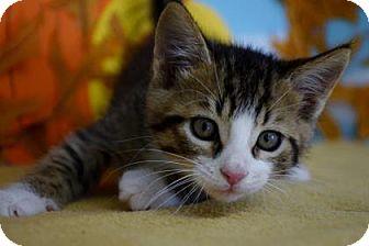 Domestic Shorthair Kitten for adoption in Bradenton, Florida - Turkey